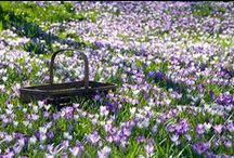 Crocus, early spring beauty