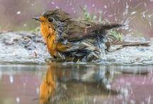 Don´t look, bird in bath