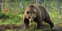 Bear, the national animal of Finland