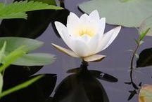 White Water Lily/ Lotus Flower