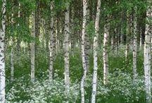 Betula, birch tree