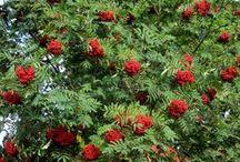 Sorbus aucuparia, Rowanberry