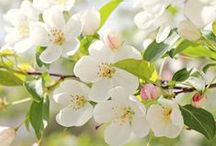 Blossoms; Apple, blum and cherry