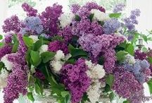 Lilacs, the best smell ever