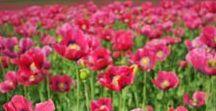 Papaver/Poppies
