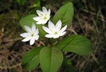 Trientalis europaea, star of the forest