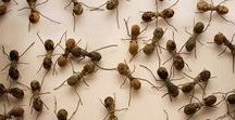 "Ants , hard workers! / Wood ant, ""Formica rufa"""