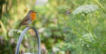 Robin, gardeners best friend! / I looooove this little bird…Robin (Erithacus Rubecula) These birds have so much character.