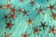 Starfishes / Sea Stars,Odontaster validus, Antarctica,. Starfish or sea stars are echinoderms About 1,500 living species of starfish occur on the seabed in all the world's oceans, from the tropics to subzero polar waters.