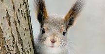 Red squirrels/winter
