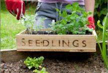 Vegetable garden / Vegetable
