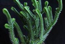P L A N T S : Succulent