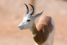 Animal ♞ Antelopes