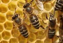 Animal ♞ Bees