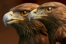 Animal ♞ Eagles