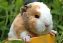 Animal ♞ Guinea Pigs