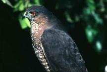 Animal ♞ Hawks