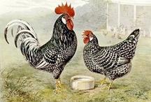 Animal ♞ Hen