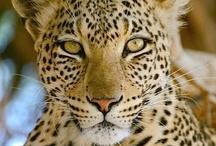 Animal ♞ Jaguars