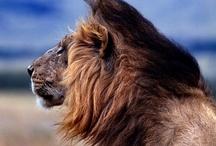 Animal ♞ Lions