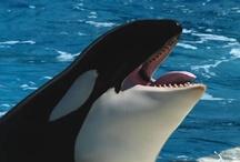 Animal ♞ Orcas