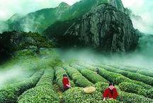 Tea Time - Tea Ceremony / Tea ceremonies, Tea Houses and Tea Farms.
