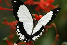 Butterflies / All things related to butterflies
