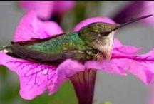 Hummingbirds / Beautiful Hummingbirds