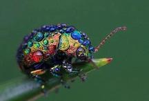 Insecta Mirabundus