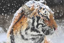 Tiger<3 / my favourite animal
