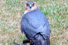 Sparrowhawk (= krahujec) / The best images of sparrowhawk. (= nejlepší obrázky krahujce).