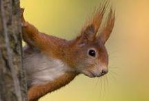 entzückende Eichhörnchen