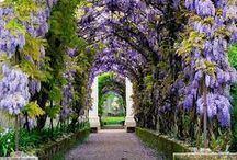"""Wisteria & Laburnum ༺♥༻ / ༺♥༻༺♥༻ Welcome, there are no pin limits here. Please follow me, if you like what you see! ༺♥༻༺♥༻༺♥༻ Two of my """"Favorite Themes"""" are: Wisteria & Laburnum (Golden Chain). Please also visit Lavender, Wildflowers & Poppies and other garden related boards. You may find more pins with these themes on my color boards. / by Babs ༺♥༻ Pins by Color ♡♥♡"""