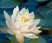 lieblicher Lotus