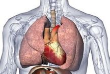 A&P.4.Heart.Lung / Maintenance of the body. Cardiovascular, Lymphatic, Immune, Respiratory Systems. / by Lily Sue