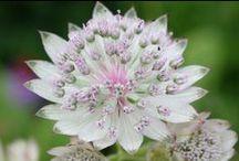 Piante erbacee perenni a fiori estivi / Le trovate tutte presso il nostro #vivaio di #erbaceeperenni, longeve a lunga fioritura non temono il caldo intenso.
