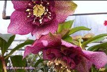 Ellebori-vendita-fioriture invernali Helleborus orientalis / Varietà di ellebori tra i fiori invernali in vivaio