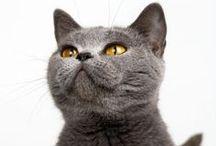 """Gatos Chartreux / Eu tenho um gatinho desta raça """"Chartraux"""", é meigo, docil, amigo e brincalhão. / by Ana Ascensão"""