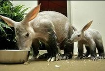 "Adorable Aardvarks / Okay, I'll be straight up with you. Call me crazy, but I have a romance novel plot idea involving aardvarks that I want to write at some point. More info about aardvarks: Aardvarks are native to southern Africa. They emerge from their burrows around sunset to search out anthills and termite mounds, which they dig into with their powerful claws.  Their tongues can be up to 12"" long!"