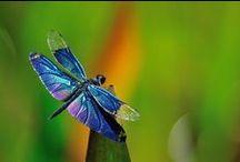 ʚįɞ Dragonflies! ʚįɞ