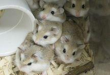 Hamsters / Hamsters... Ze zijn zo cutie