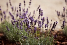 All Things Lavender / We grow organic lavender on our farm in central Italy that we distill and make essential oil and hydrosol. We also grow lots of herbs, mostly for culinary purposes, but also for landscaping and attracting butterflies.