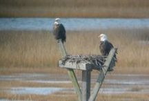 Birds of the Delaware Bay region / Here is a sampling of some of our favorite photos taken by Dr. Lenore Tedesco (www.wetlandsinstitute.org)