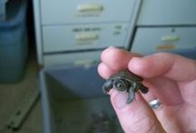 Diamondback Terrapin Conservation / Since 1989, the Wetlands Institute, in cooperation with the Richard Stockton College of New Jersey, has conducted a diamondback terrapin conservation project.  Each summer, college and university students come from all over the United States to assist these creatures.