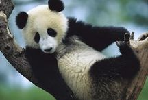 OMG..... I LOVE Pandas / My favorite obsession
