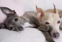 Italian Greyhounds / My future dog :)