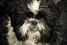 Shih Tzu and Other Four-Legged Earth Angels / by Jay Taylor