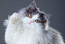 Cicusok / A cica öntörvényű, azt csinál, amit akar. Nem szolgalelkű, mint a kutyus.