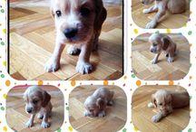 """I love mydog """" Cookie """" / 15 aylık bir american cocker erkek"""