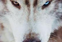*** Siberian Husky ***